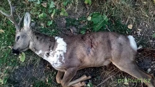Roe Deer Hunting4