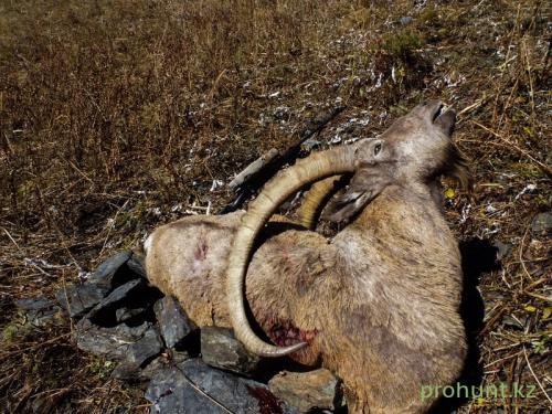 Ibex Hunting13