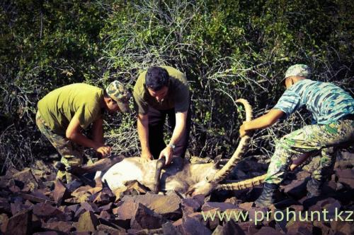 Ibex Hunting15