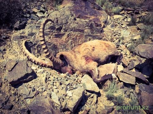 Ibex Hunting38